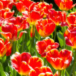 Beautiful red tulips in the sunlight — Stock Photo