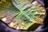 Mystical Lotos Leaf — Stock Photo