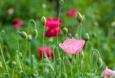 Closeup of pink poppy flower with nature background — ストック写真