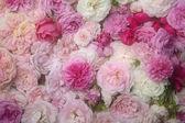 Pink roses. — Foto de Stock