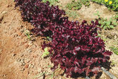 Row of fresh red lettuces — Stock Photo