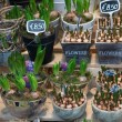 Pots of spring bulbs for sale in a nursery — Stock Photo