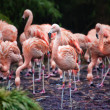 Flock of pink flamingos foraging in a lake — Stock Photo