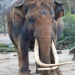 Stock Photo: Indielephant with long tusks