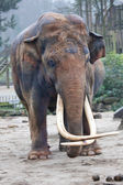 Indian elephant with long tusks — Stock Photo