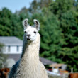 AlpacFarm — Stock Photo #39518113