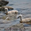 Stock Photo: Twin Baby Mute Swans