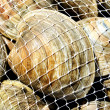 Stock Photo: Bagged Fresh Clams