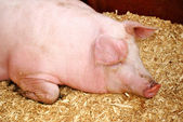 Sleepy Pig — Stock Photo