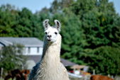 Alpaca Farm — Stock Photo
