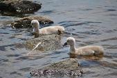 Gêmeo de bebê mute cisnes — Fotografia Stock
