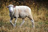 Bílé ovce chůze — Stock fotografie