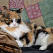 Laying Calico Cat — Stock Photo #39522049