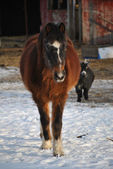 Horse Walking in the Snow — Stock fotografie