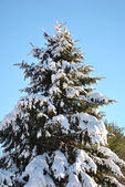 Snowy Pine Tree — Stock Photo