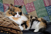 Laying Calico Cat — Stock Photo