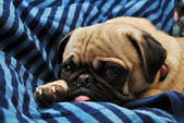 Young Pug Laying a Black and Blue Blanket — Stock Photo
