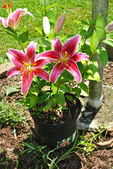 Potted Summer Star Gazer Lily — Stock Photo