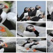 Stock Photo: Puffins on Machias Island Collage
