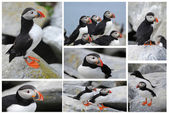 Puffins on Machias Island Collage — Stockfoto