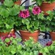 Greenhouse Geranium — Stock Photo #40290473