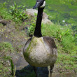 Stock Photo: Goose in Pond Scum