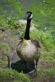 Goose in Pond Scum — Stok fotoğraf