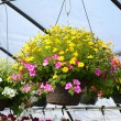Hanging Greenhouse Plant — Stock Photo #41063463