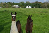 Alpacas in a Pasture — Stock Photo