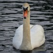 Swimming Swan — Stock Photo #41138355
