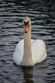 Swimming Swan — Stock Photo