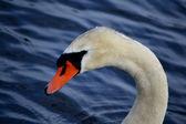 Close-up do cisne branco — Fotografia Stock