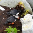 Stock Photo: Nesting Puffin Couple