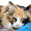 Sleepy Calico — Stock Photo #41441121