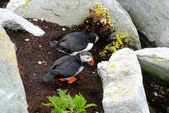 Nesting Puffin Couple — Stock Photo