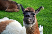 Proud Alpaca — Stock Photo