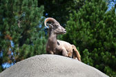 Ram Laying on the Rocks — Stock Photo