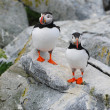Stock Photo: Perfect Puffins