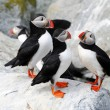Stock Photo: Puffin Cluster