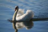 Swimming White Swan — Stock Photo