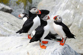 Puffin Cluster — Stock Photo