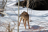 Fawn Lookiing to Feed in Winter — Stock fotografie