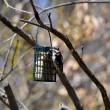 Stock Photo: Downy Woodpecker on Suet Feeder