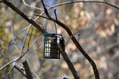 Downy Woodpecker on a Suet Feeder — Stock Photo