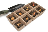 Onion Bulbs Planted in Peat Pots with a Spade — Stock Photo