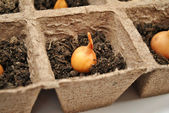 Yellow Onion in Peat Pot Close-Up — Stock Photo