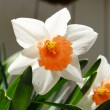 Close-Up of a White and Orange Daffodil — Stock Photo