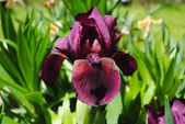 Close Up of a Dark Purple Iris — Stock Photo