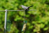 Grey Bird Sitting on a Backyard Bird Feeder — Stock Photo
