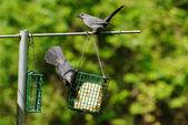 Two Grey Birds on a Summer Feeder — Stock Photo